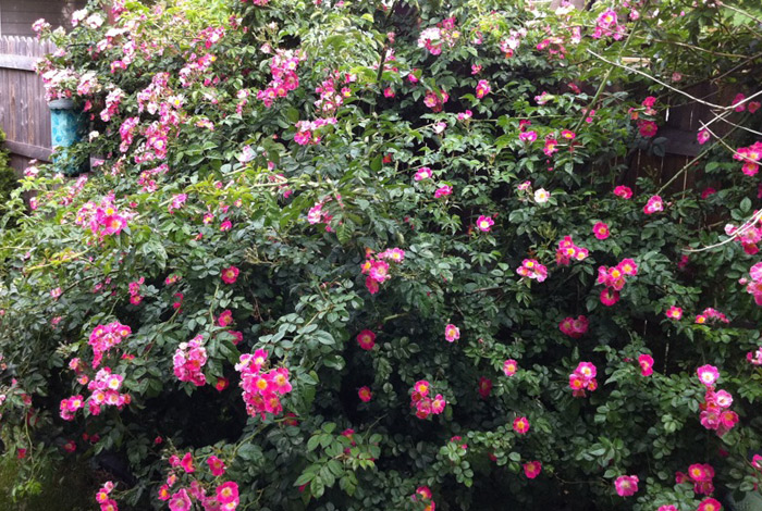 7-sisters-rose-wide
