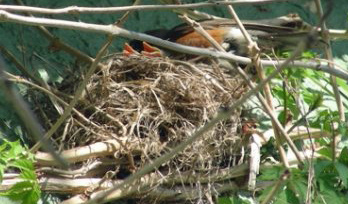 Robins-nest-babies